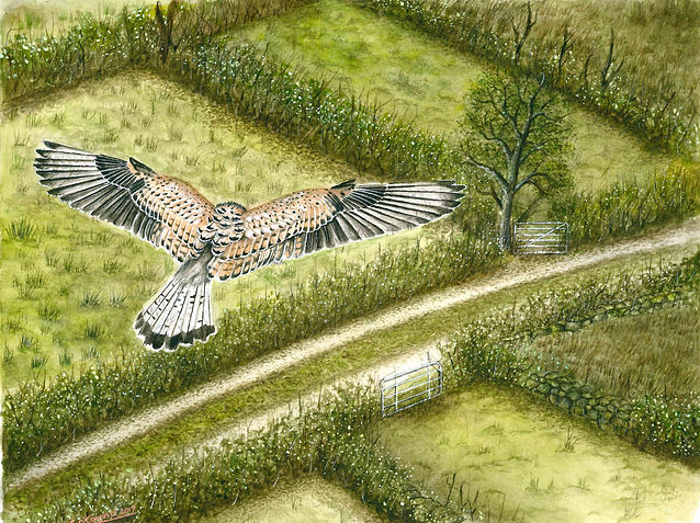 kestrel hovering watercolour painting