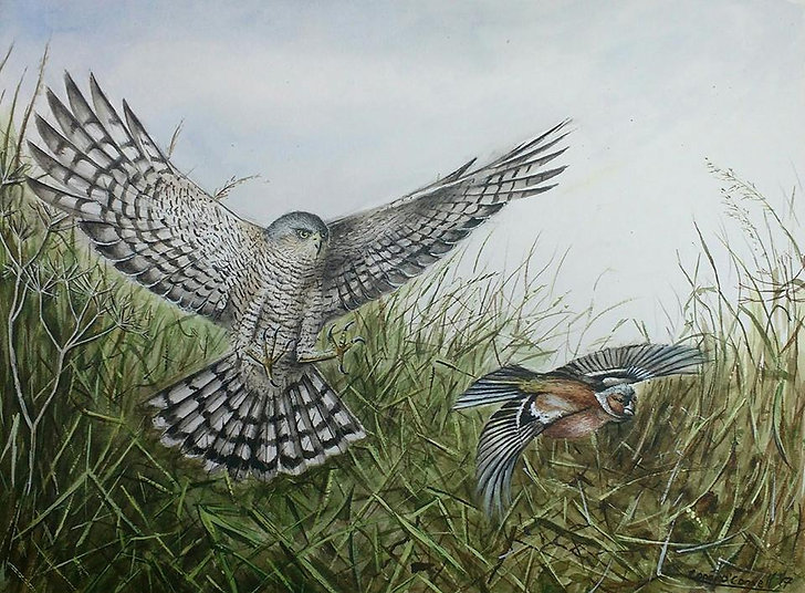 Sparrowhawk and Chaffinch painting