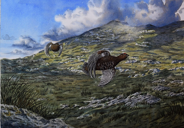 Connemara Red Grouse