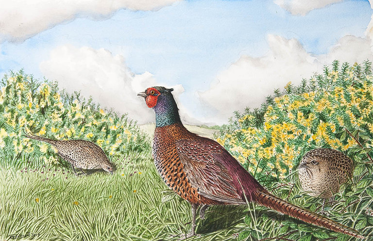 Pheasant paining watercolour