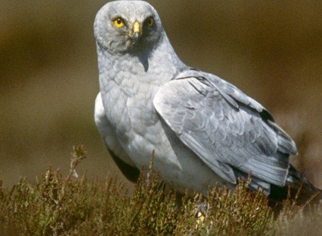 Hen Harriers- more than just a barrier to progress