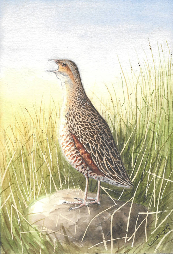 corncrake watercolour painting