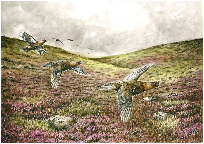 red grouse in fight painting watercolour bog