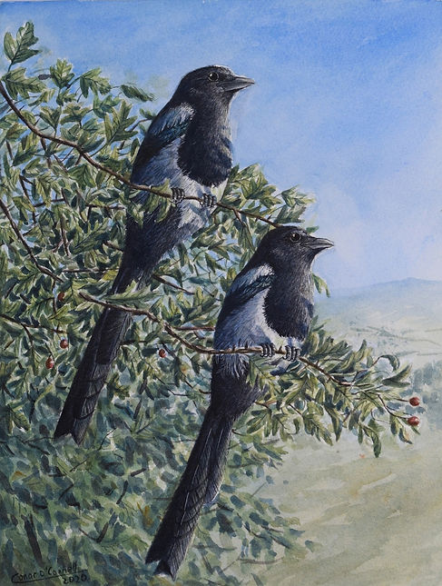 magpies in a hawthorn tree