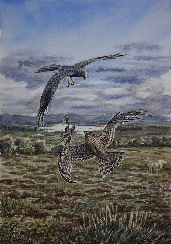 Hen Harriers.JPG