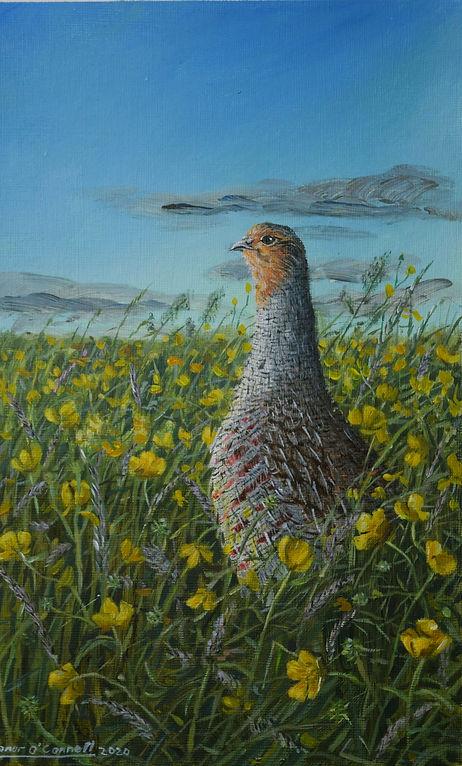 Grey Partridge Buttercups Ireland