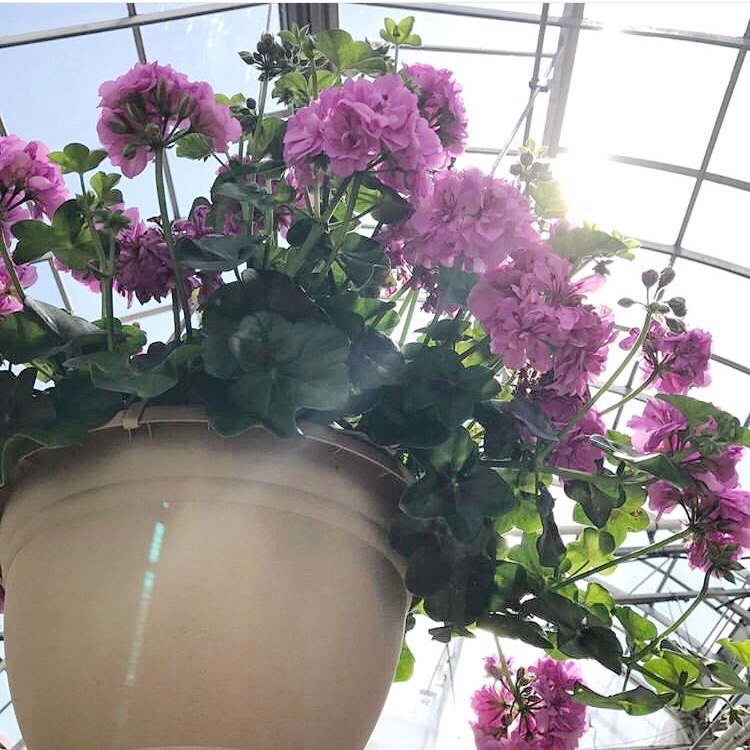 Hanging basket of magenta geraniums in a greenhouse