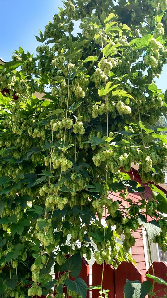 Happy hops at Siskiyou Brew