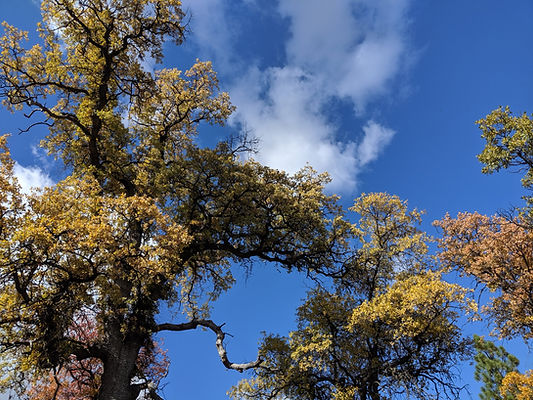 The yellow leaves of a tree in Fall.