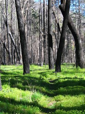 Burned Forest in Yolla Bolly Wilderness