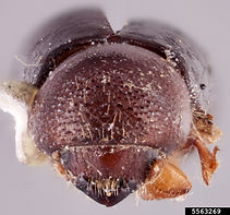 Ambrosia beetle, Rachel Osborn, Southeast Asian Ambrosia Beetle ID, USDA APHIS PPQ, Bugwood.org