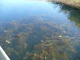 Eurasian Water Milfoil. Invasive Species. Leave no trace.