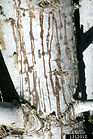 Fir engraver damage, Donald Owen, California Department of Forestry and Fire Protection, Bugwood.org