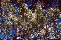 Lodgepole pine needleminer, Damage USDA F