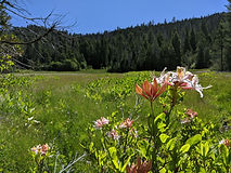 A field with a large pink wildflower blooming
