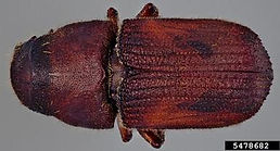 Jeffrey pine beetle, Steven Valley, Oregon Department of Agriculture, Bugwood.org