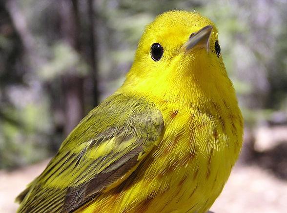 A bright yellow bird