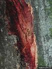 Sudden oak death, Bruce Moltzan, USDA Forest Service, Bugw