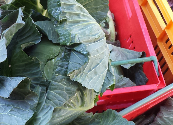Green Cabbage [ 1 ]