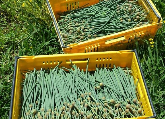 Organic Garlic flower stalk