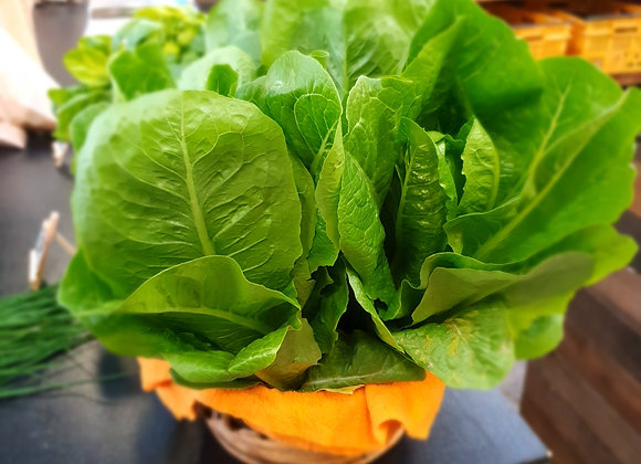 Cos lettuce [ whole ]  spray free hydroponically grown, with roots attached.