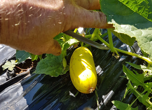 Organic Poona Kheera cucumber.