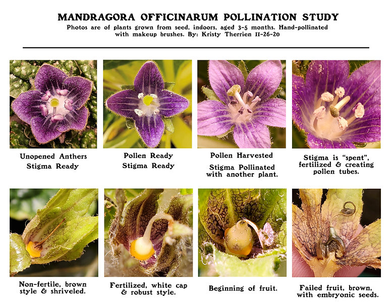 Mandragora Pollination Study, pollinated flowers, cross section, mandrake pollination, cultivation, hand fertilized mandrake, hand pollinating mandragora.