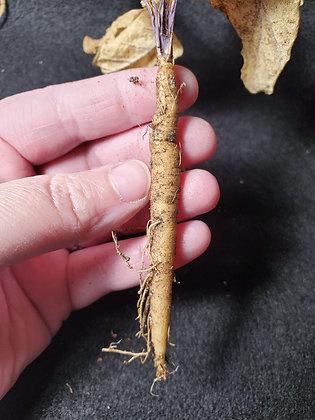 Live Mandrake Root (Young)