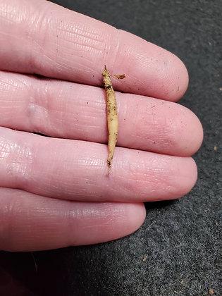 Live Mandrake Root (BABY)