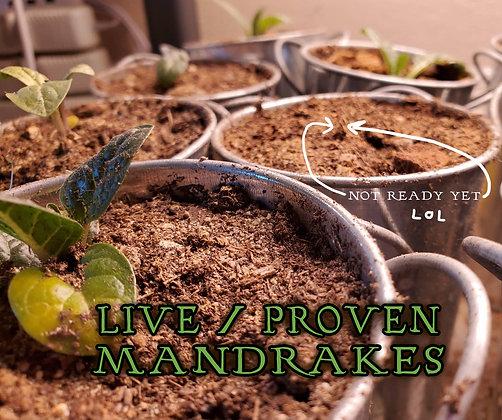 Grumpy Little Mandrake