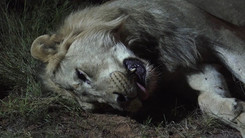 THE END OF THE BIG CATS