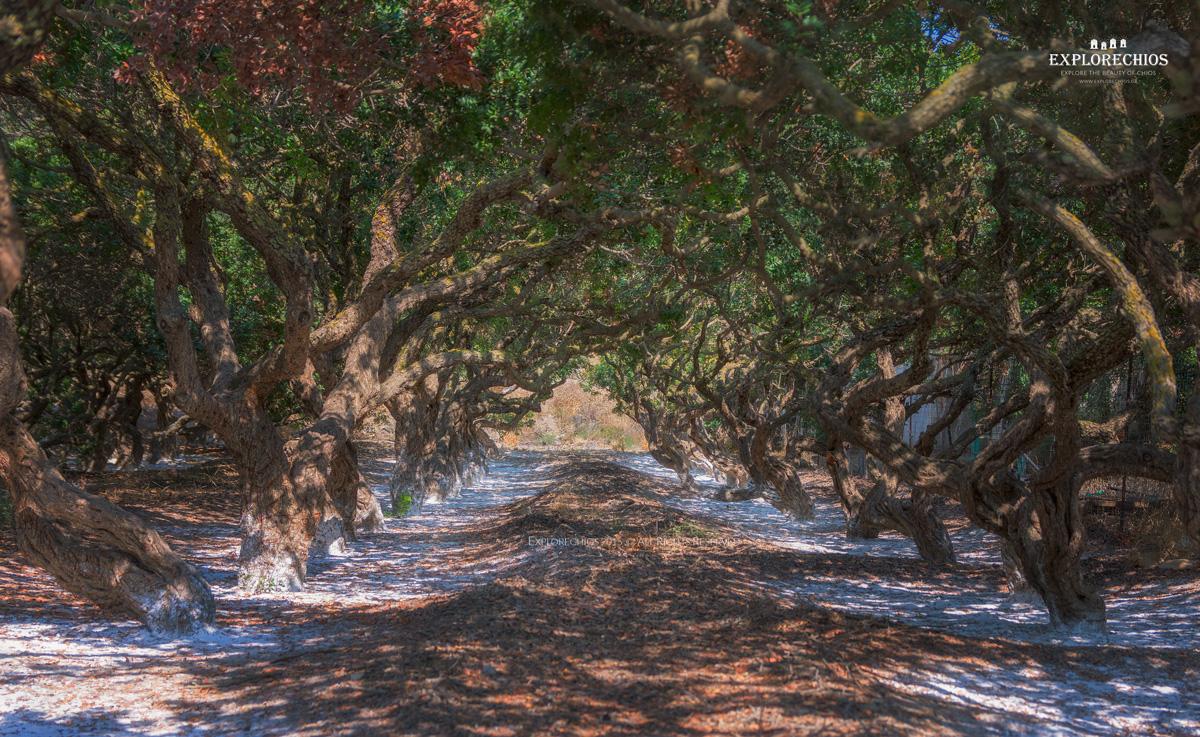 Mastic trees Chios