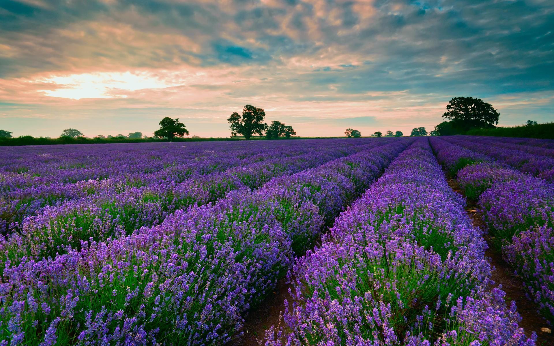 lavender-wallpaper3