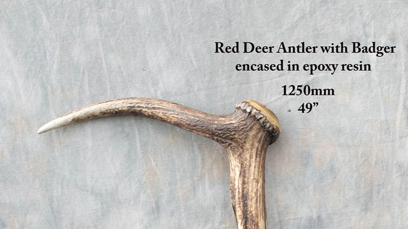 Stick 37 - Red deer antler with badger encased in epoxy resin