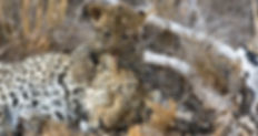 leopard cubs.jpg