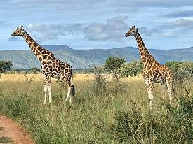 Rothschild Giraffe Kidepo Valley Nationa