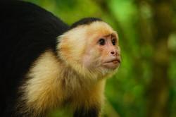 Monkey,Costa Rica