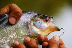 Piranha,Amazon forest