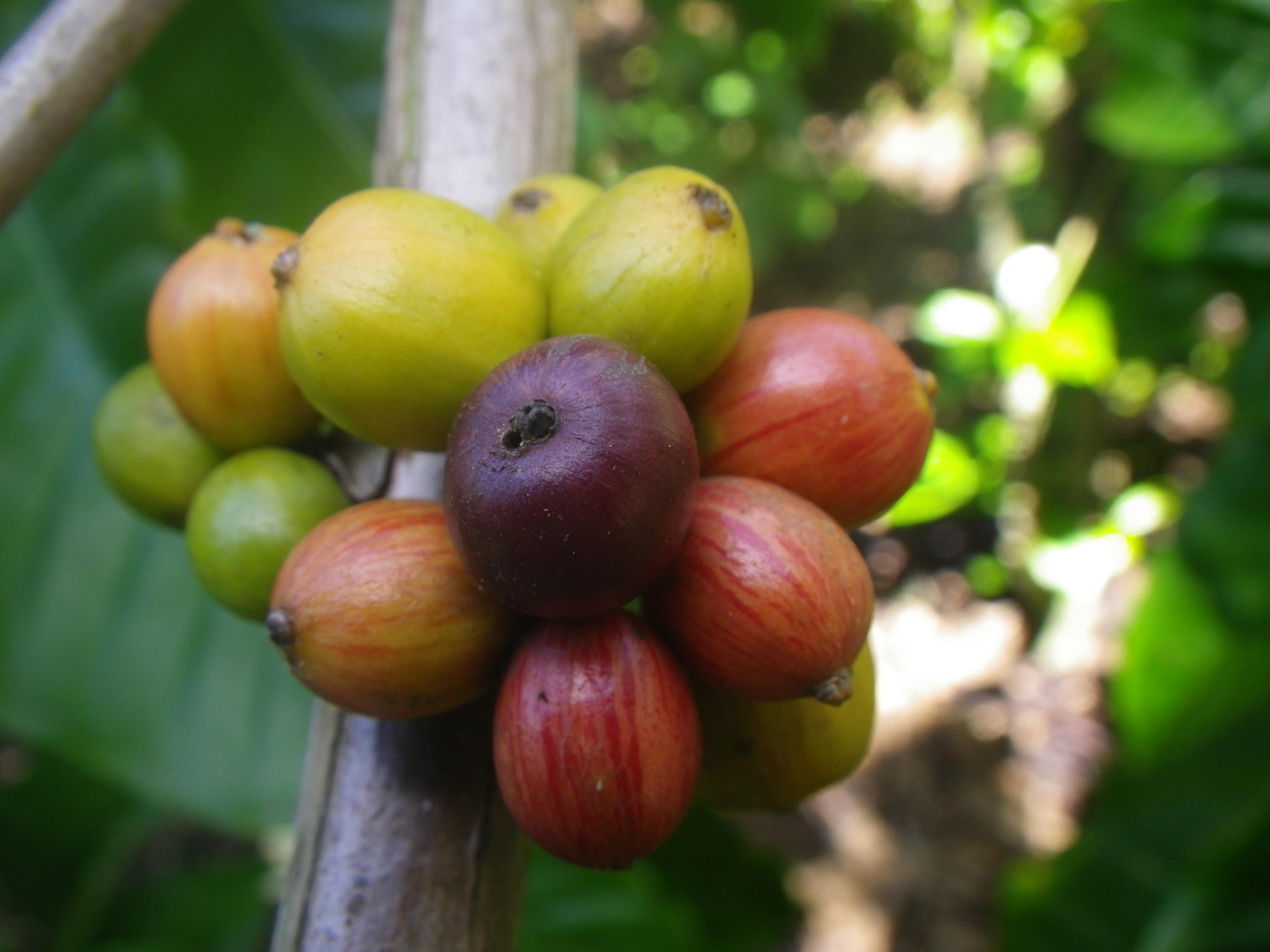 coffee beans,Sumatra