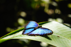 Morpho bleu,Nicaragua