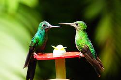 Colibri,Costa Rica