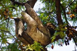 Sloth in Carthagena