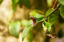 Green Snake,Costa Rica