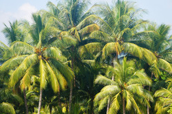 palm tree,Costa Rica