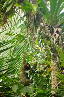 paresseux,Panama