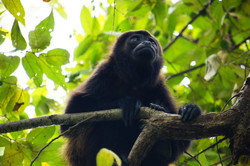 singe hurleur,Nicaragua