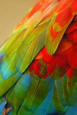 plumes de Aras