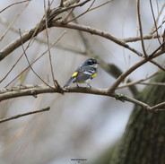 Yellow Rumped Warbler-Central Park, NYC