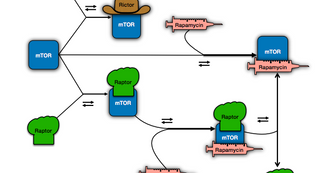 Pre-Print: Dynamical Modeling of mTOR Pathway