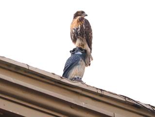 Hawks of Manhattan